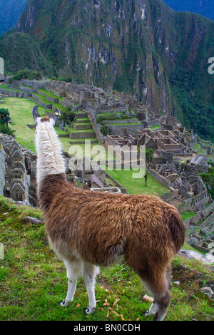 High view of Llama looking out over Machu Picchu. - Stock Photo