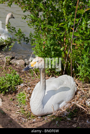Bewick's Swan (cygnus columbianus bewickii), sitting on Nest - Stock Photo