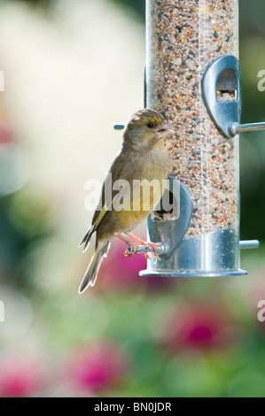 Carduelis chloris. Female European Greenfinch feeding on a bird seed feeder - Stock Photo