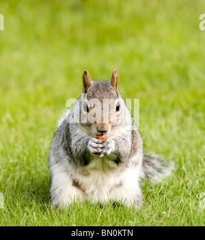 A grey squirrel eating a nut - Stock Photo