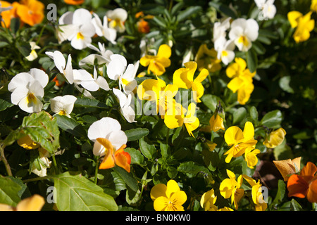 Orlando, FL - Jan 2009 - Colorful yellow, white and orange pansies in a garden in central Florida - Stock Photo
