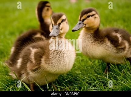 Three mallard ducklings on the grass - Stock Photo