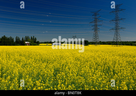Field of yellow rapeseed crop with farmhouse and hydro towers against a blue sky Oak Ridges Moraine Ontario