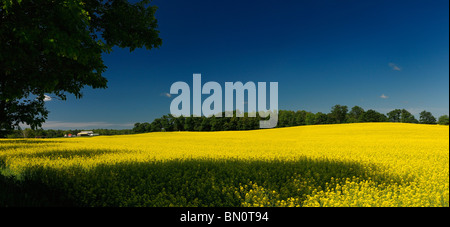Field of yellow rapeseed crop with farmhouse trees and blue sky