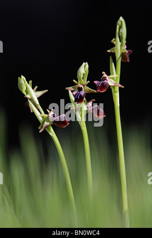 Early Spider Orchid, Ophrys mammosa, Greece - Stock Photo