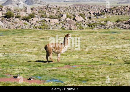 Alpaca (Lama pacos), Camelidae family, Lauca National Park, Arica and Parinacota Region, Chile - Stock Photo