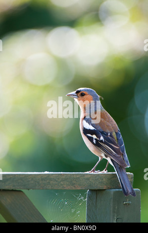 Fringilla Coelebs, Male chaffinch - Stock Photo