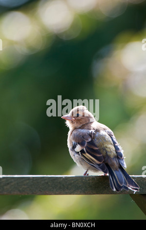 Fringilla Coelebs. Fledged juvenile chaffinch - Stock Photo