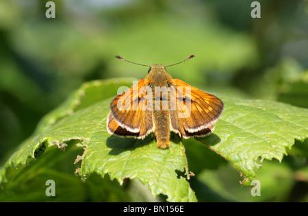 Large Skipper Butterfly (Male), Ochlodes sylvanus, Hesperiidae - Stock Photo