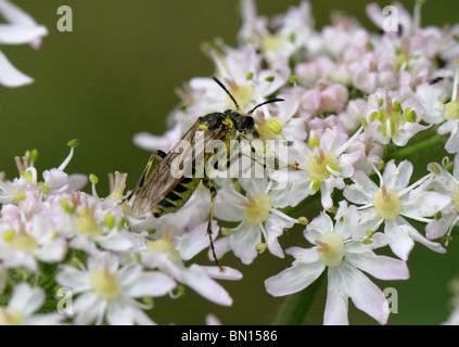 Sawfly, Tenthredo sp. (probably either Tenthredo notha, arcuata or brevicornis), Tenthredinidae, Hymenoptera. Feeding - Stock Photo