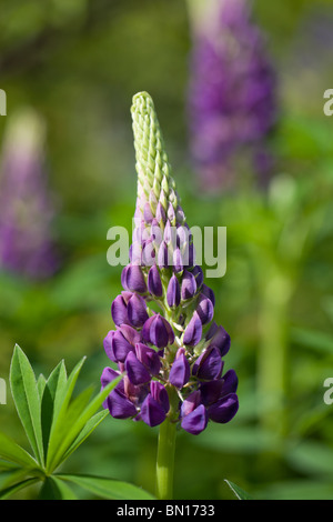 Garden Lupin or large-leaved Lupine - Lupinus polyphyllus - Stock Photo