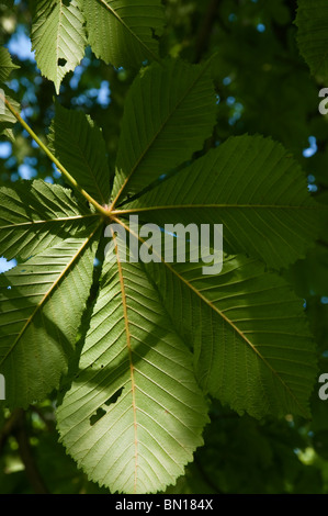 Horse Chestnut leaves in afternoon light - Stock Photo