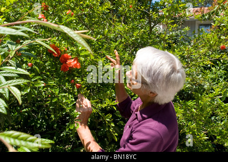 Pleasing Flowers Of A Pomegranate Tree Punica Granatum Fleurs De  With Engaging  A Gardener Admiring The Flowers Of Her Pomegranate Tree Punica  Granatum Jardinire Admirant With Comely Spiders In Garden Also Garden Pergolas In Addition Garden Cross And Love Your Garden As Well As Garden Square Chambers Additionally Best Soil For Vegetable Garden In Raised Bed From Alamycom With   Engaging Flowers Of A Pomegranate Tree Punica Granatum Fleurs De  With Comely  A Gardener Admiring The Flowers Of Her Pomegranate Tree Punica  Granatum Jardinire Admirant And Pleasing Spiders In Garden Also Garden Pergolas In Addition Garden Cross From Alamycom
