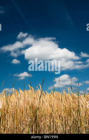 Barley ripening in a field in the English countryside. Oxfordshire, England - Stock Photo
