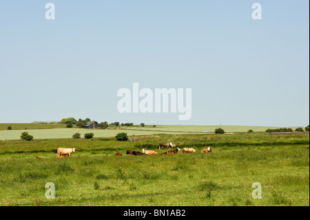 A small herd of cows grazing in a field on the Isle of Sheppey in Kent.  Photo by Gordon Scammell - Stock Photo