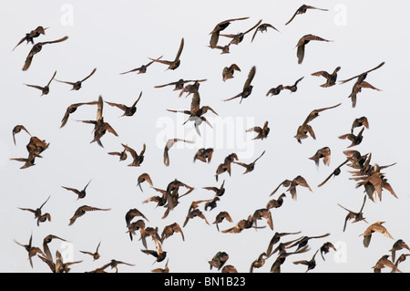 A flock of starlings. - Stock Photo