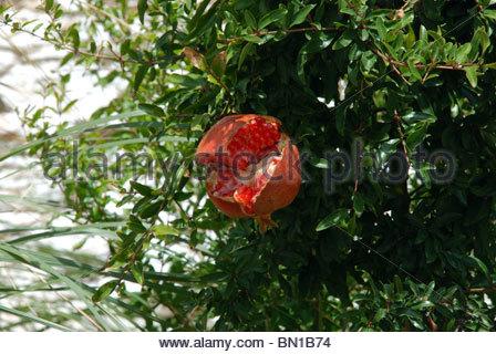 Pomegranate split open on tree, Benaque, Costa del Sol, Malaga Province, Andalucia, Spain, Western europe. - Stock Photo