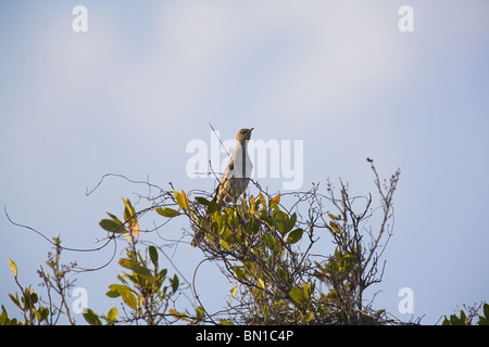 Bahama Mockingbird Mimus gundlachii perched in bush at Cayo Guillermo, republic of Cuba in April. - Stock Photo