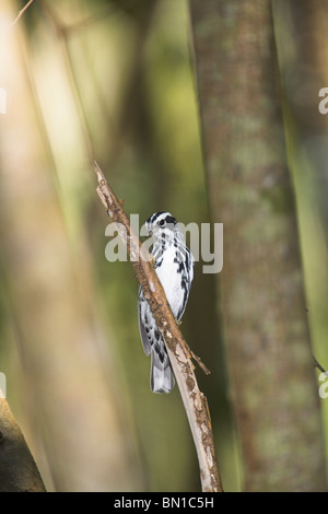 Black-and-White Warbler Mniotilta varia male perched on branch at Zapata, Republic of Cuba in March. - Stock Photo