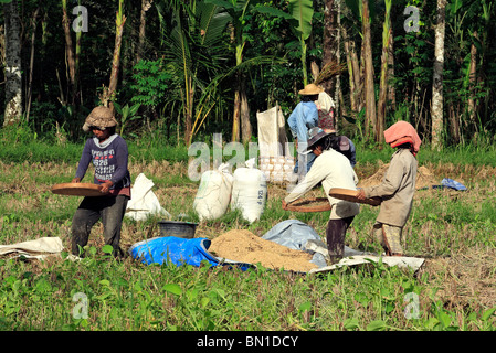Women working in the fields during rice harvest, near Ubud, Bali, To separate the  grains from the husks, the rice - Stock Photo