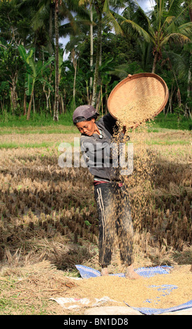 Woman working in the fields during rice harvest, near Ubud, Bali, To separate the  grains from the husks, the rice - Stock Photo