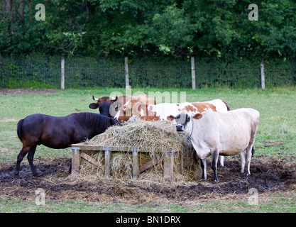 A brown horse and three cows ( cattles ) are eating grass from the manger. - Stock Photo
