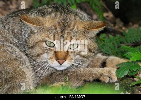 Felis silvestris, Wildcat - Stock Photo
