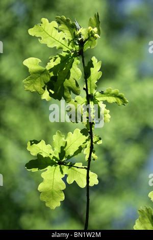 Oak Leaves Quercus robur Spring, UK - Stock Photo