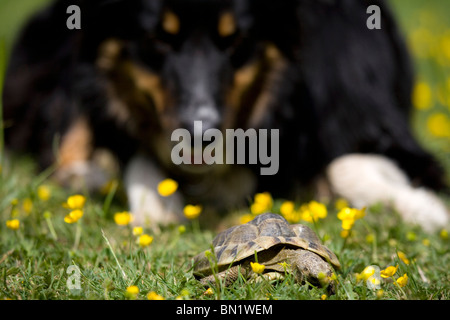 Hermanns Tortoise Border collie dog watching Hermanns tortoise in garden Portesham, UK - Stock Photo
