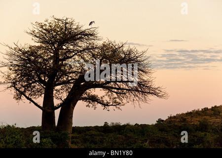 A Marabou Stork (Leptoptilos crumeniferus) roosting in a Baobab Tree (Adansonia digitata) at dusk in the Savuti - Stock Photo