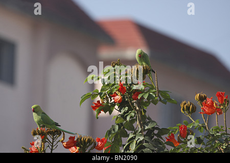 The Rose-ringed Parakeet (Psittacula krameri) - Stock Photo