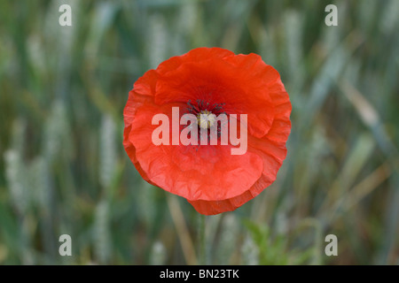 A Red corn poppy in a Field - Stock Photo