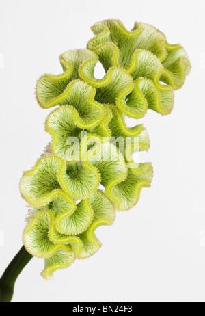Green Celosia - Stock Photo