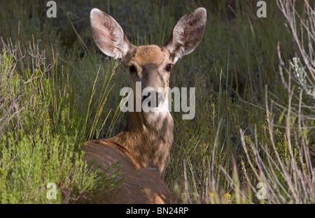 A mule deer doe, female, lying in a field - Stock Photo