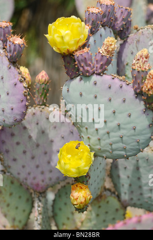 Opuntia gosseliniana, commonly known as the Violet Prickly Pear, is a species of cactus that is native to Arizona - Stock Photo