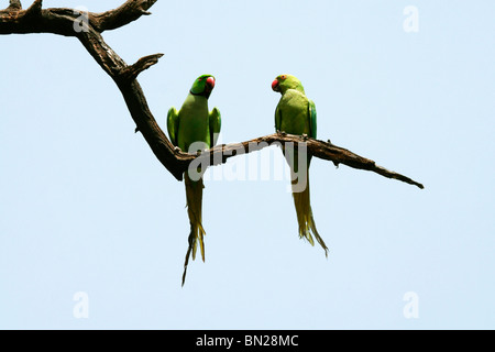 Rose-ringed or Indian Ringneck Parakeet who appear to be talking to each other - Stock Photo