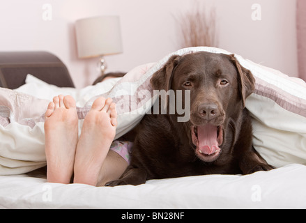 Shot of a Cute Chocolate Labrador Under the Covers at the Owner's Feet End! - Stock Photo