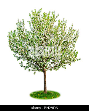 Single young flowering apple tree in spring isolated on white background - Stock Photo