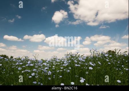 Linum usitatissimum. Linseed crop flowering in a field in the English countryside - Stock Photo