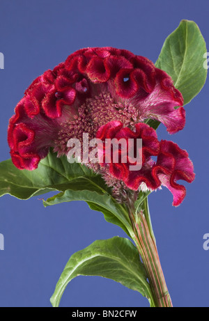 Red Celosia Cockscomb - Stock Photo