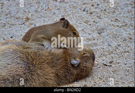Young Capybara (Hydrochoerus hydrochaeris) playing with his sleeping mother - Stock Photo