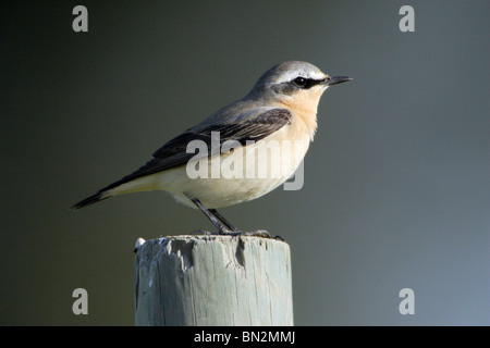 Wheatear, Oenanthe oenanthe, male perched on post - Stock Photo