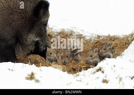 European Wild Pig or Boar (Sus scrofa) sow with baby piglets in straw nest, winter, Germany - Stock Photo