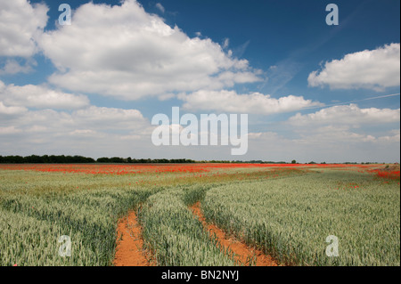 Tractor tracks through a field of wheat and poppies in the English countryside - Stock Photo