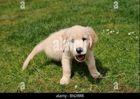 eight week old golden retriever puppy in the garden - Stock Photo