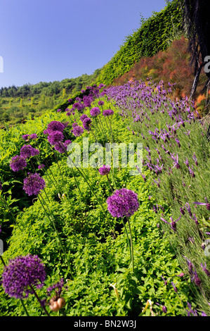 A row of chives and butterfly lavender in flower - Stock Photo