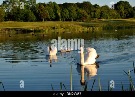 swan family - Stock Photo