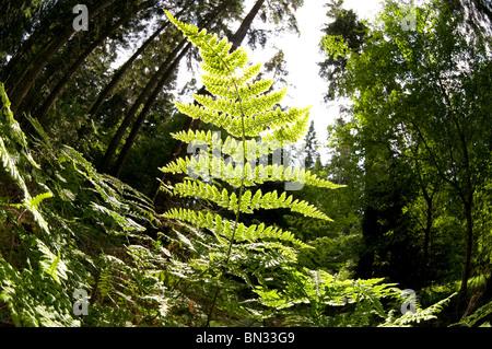 fern leaf in woodland - Stock Photo