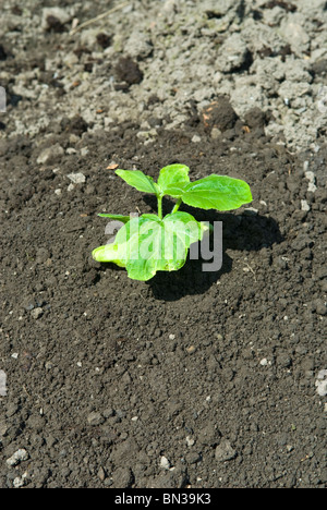 Newly planted Little Bear pumpkin plant (Cucurbita) on a mound of earth. South Yorkshire, England. - Stock Photo