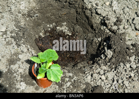 Planting a Little Bear pumpkin plant (Cucurbita) in a deep hole filled with manure. South Yorkshire, England. - Stock Photo